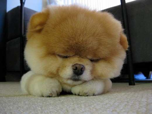 boo-cutest-pomerian-in-the-world-2