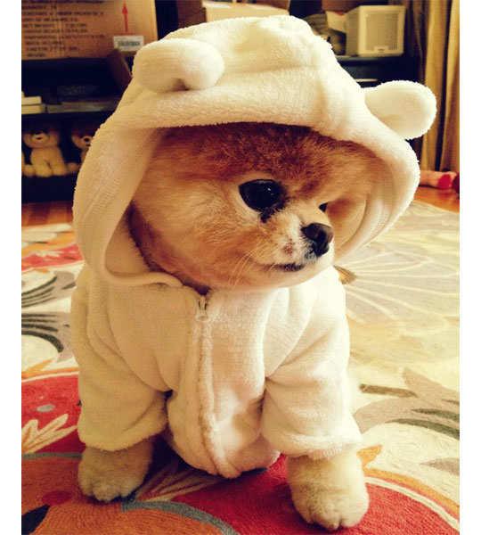 boo-cutest-pomerian-in-the-world-pic-6