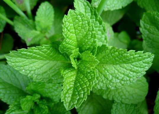 Mint-leaves-for-ant-killing