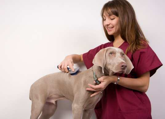 A 3 month old Weimaraner getting groomed.