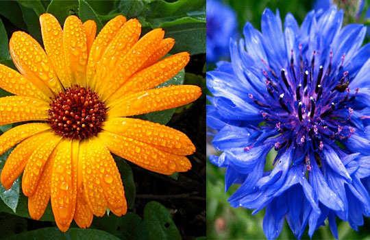eyelashes-home-remedies-cornflower