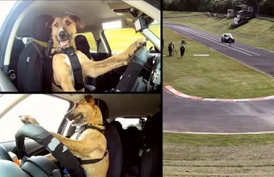 world's-first-driving-dog-1