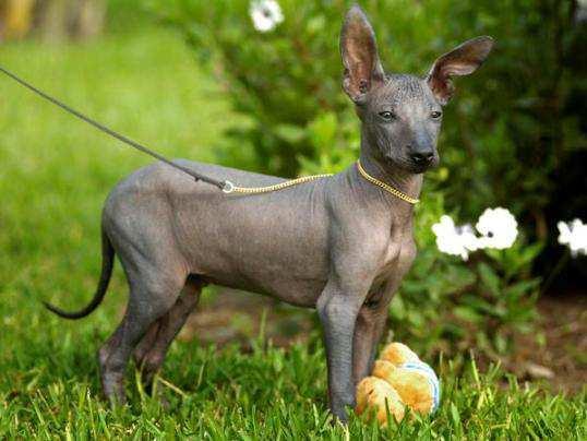 Peruvian-Hairless-Dog-3