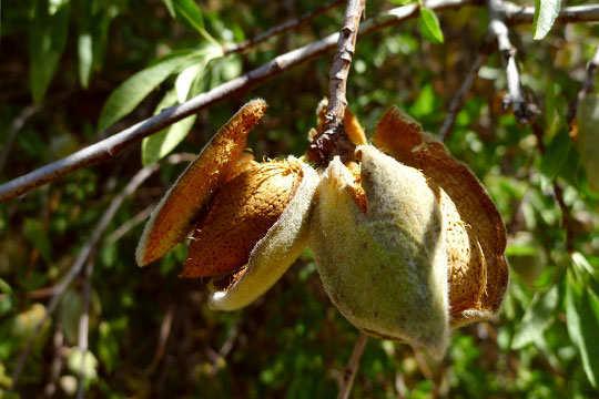 almond-fun-interesting-facts-10